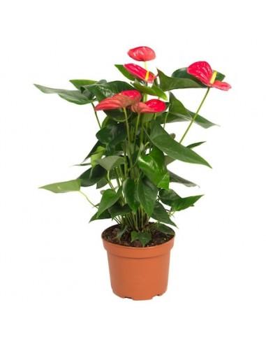 Anthurium rosu